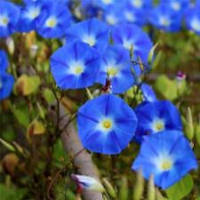 Morning Gory Heavenly Blue 100 Seeds Fresh Non G M O
