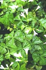 Oxalis ~ Regnellii 'Irish Mist' OXALIS SHAMROCKS 1 FRESH GARDEN CLOVER BULB