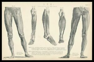 Rare 138+y Old Antique Medical Print ANATOMY PHYSIOLOGY Muscle LEG HIP KNEE FEET