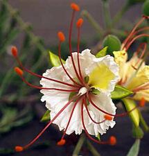 DELONIX DECARYI, Flamboyant poinciana tree VERY RARE bonsai plant - 10 Seeds