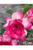 Succulent &cactus,Adenium obesum No65 lela,desert rose usa free ship