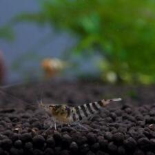 Zebra Babaultis Live Freshwater Dwarf Shrimp for Aquariums