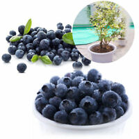 50pcs Seltene Blueberry Seeds Garden Edible Fruit Bonsai Plant Indoor Outdoor