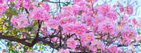 Zimmerbaum Samen Rarität seltene Pflanzen schnellwüchsig TROMPETENBAUM-PINK