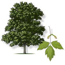 50 Graines Acer negundo - Érable négondo  (Box Elder Maple) tree seeds