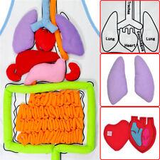 Human Body Anatomy Model Apron Heart Lung Kidney Child Kids Medical Educational