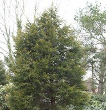 Gelbe Leyland Zypresse Castlewellan Gold 40-60cm - Cupressocyparis leylandii