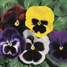 35+  PANSY SWISS GIANTS MIX aka VIOLA FLOWER SEEDS, COOL WEATHER PLANT PERENNIAL