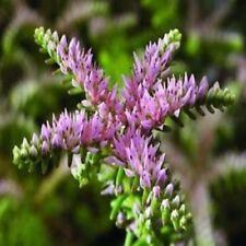 50+ Widows Cross Sedum Flower Seeds / Perennial
