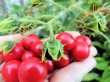 Lulita / Litschi- Tomate * Rarität * 10 Korn * frisch *