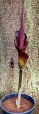 "Amorphophallus konjac ""2"" - 2 years old bulb - VooDoo LiLy"