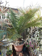 Macrozamia moorei This Plant Caudex 10 inches wide 7 inches tall Cycad