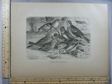 Rare Antique Original VTG Group Of Buntings Birds Avian Photogravure Art Print