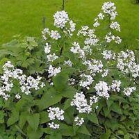 Money Plant- White-(Lunaria Biennis)  - 50 Seeds-