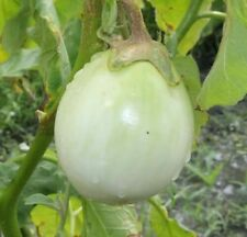 open pollinated seeds : round green eggplant
