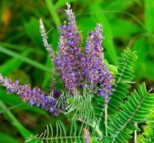 LEAD PLANT Amorpha Canescens VERY DROUGHT TOLERANT Hardy Perennial 50 Seeds