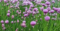 Common Chives Seeds, NON-GMO, Variety Sizes Sold, FREE SHIPPING