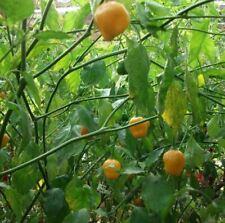 25+ Heirloom El Oro de Ecuador Hot Pepper Seeds-C 059
