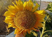 50 Giant Russian Mammoth Sunflower Seeds Heirloom Orga Helianthus annuus Girasol