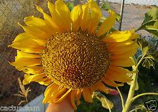 50 Giant Russian Mammoth Sunflower Seeds Heirloom Orga Helianthus annuus Girasol