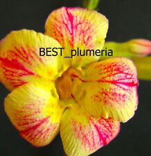 "Adenium Obesum Desert Rose ""Pawpun"" 100 Seeds"