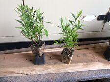 Frostproof Gardenia Lot Of 6 Plants