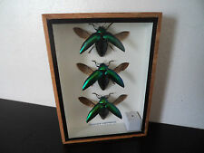 Taxidermy Real Mounted Jewel Beetles Boxed Display Entomology Insect Bugs