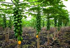 Dwarf Solo Papaya Tree! 30 Seeds! Small fruit! PERFECT FOR GROWING IN POTS!