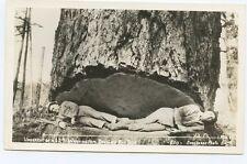 RPPC Men Lying in a Undercut of a 12ft Washington Douglas  Fir Tree