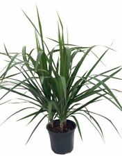 "Madagascar Dragon Dracaena Marginata Live Plant Tree 6"" Pot Easy Grow Houseplant"