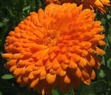 CALENDULA ORANGE KING Calendula Officinalis - 200 Bulk Seeds