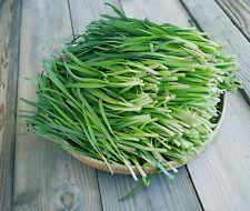 100 Graines non traitée CIBOULE DE CHINE Allium tuberosum Ciboulail Ail chinois