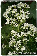 Crambe maritima 'Sea Kale' 15 SEEDS