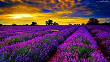 150+ Graines Lavandula angustifolia ,Vera Lavender ,English lavender seeds