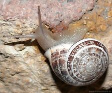2 SNAILS, Helix Vermiculata, Greek, Alive, Perfect Pets, Free at Nature