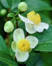 30 CAMELLIA sinensis Green Tea Seeds Fresh Fragrant