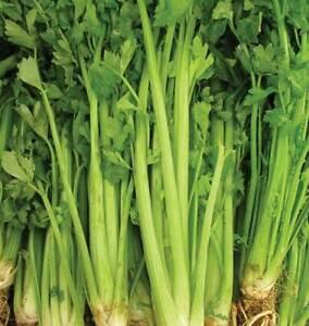 Celery Tall Utah Seeds 1000+ Vegetable Garden NON-GMO USA SELLER FREE SHIPPING
