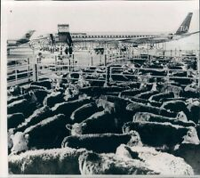1969 Polled Hereford Cows in Texas Wait to Board Plane For Chile Press Photo