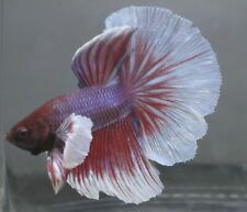 New listing Assorted Male Betta Dumbored, Blue & More *Low Price. Quality Fish*