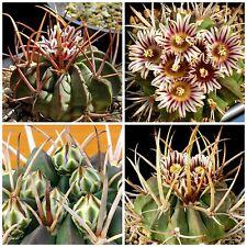 10 semi di Echinofossulocactus coptonogonus ,piante grasse,seeds cactus