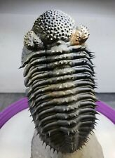 Very Large Flying Drotops Armatus Phacopi Trilobite Free Standing Museum Fossil