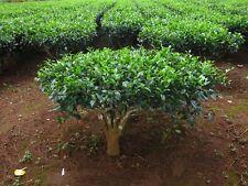 30 CAMELLIA sinensis Green Tea Seeds Fresh Fragrant  RARE