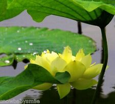 10 Yellow Boat Lotus Seeds Nelumbo Nucifera Pond Aquarium Flower COMBINE SHIPPIN