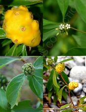 Morinda Royoc, rare Mouse's pineapple vine wild noni Medicinal herb seed 5 seeds