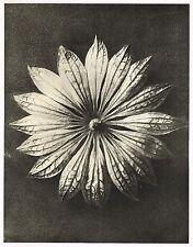 Original Vintage Karl Blossfeldt Botanical Art Photo Gravure Decor Print 10