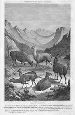 LES LAMAS EN FRANCE LLAMA / DESSIN DE WERNER / ADP 1848