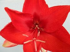 20 Amaryllis seed Amico dried refrigerated ready to go Hippeastrum
