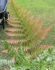 5 Pack Fern Spores Bundle Japanese, Autumn, Ostrich, Japanese Holly, & Sensitive
