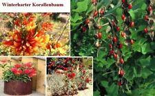 Winterharter exotischer Korallenbaum für den Garten