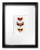 """REAL FRAMED LANTERN CICADAS: PYROPS, 3 RARE SPECIES - ART OF INSECTS, 11"""" x 14"""""""